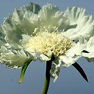 Glorious White Poppy by Sandra Cockayne