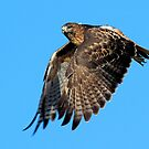 083110 Red Tailed Hawk by Marvin Collins