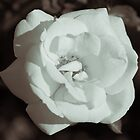 Black and White Rose, Hall Place  by Jonathan Doherty