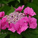 Pink Hortensia by Aase