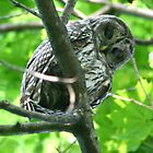 barred owl 2 by Éilis  Finnerty Warren