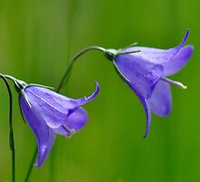 Harebell by Nancy Barrett