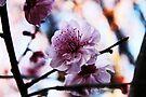 Pink -Cherry Blossom by Evita