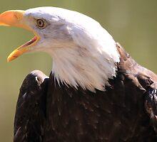 Bald Eagle Call  by DutchLumix