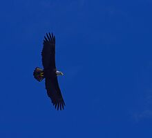 Bald eagle blue sky by Al Williscroft
