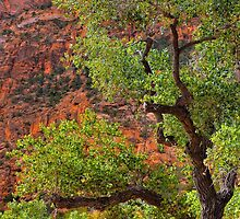 Cottonwood Tree - Zion Canyon by Stephen Vecchiotti