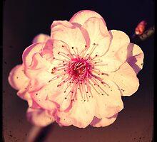 Vintage Pink by pnjmcc