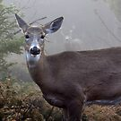 Through the fog - White-tailed Deer by Jim Cumming