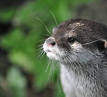 Oriental Small Clawed Otter - Shepreth Wildlife Park 2010 by Samantha Creary
