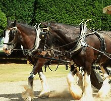 Shire Horses by rualexa