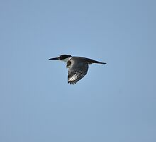 Belted-Kingfisher by Karl F Davis