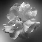 Floating Tulip by Brenda Boisvert
