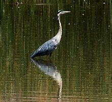 Great Grey Heron by Jeffrey  Sinnock