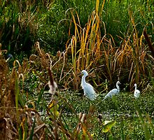 Snowy Egret and Her Chicks by Robert H Carney