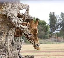 Giraffe at Werribee Open Plain Zoo by kazzam