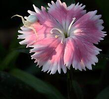 Dianthus And A Predator by Gary Fairhead