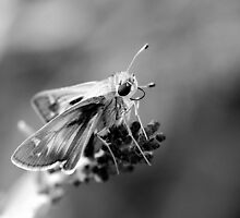 Skipper Bfly in Drab by Ben  Pearson