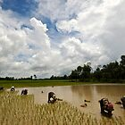 Family working the rice fields by Carl LaCasse