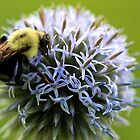 Bumble Bee - Globe Thistle by T.J. Martin