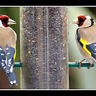 Goldfinchs  (Carduelis carduelis) by Gordon Holmes