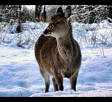 sika  deer in the snow by Brett Watson Stand By Me  Ethiopia