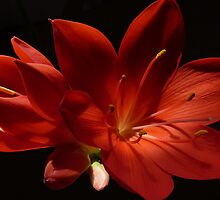 Kaffir lily by Photos - Pauline Wherrell