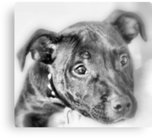 Marley The Staffordshire Bull Terrier Metal Print