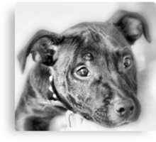 Marley The Staffordshire Bull Terrier Canvas Print