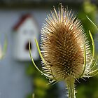 Backlit Thistles in Pembrokeshire with smiling bird house in background by Glarves