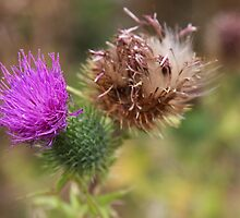 in the thistle patch by TerrillWelch