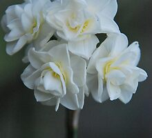 Narcissus 'Erlicheer' by Julie Sherlock