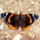 """Admirable Red Admiral"" by Deb  Badt-Covell"
