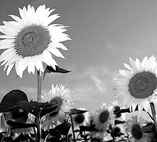 Sunflowers by Luciano Fortini