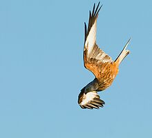 Red Kite by markyboy1967