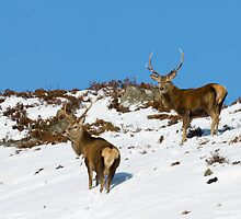 Scottish Highland Red Deer Stags by markyboy1967