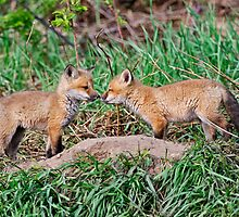 Fox Kits 9 by Michael Cummings