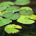 Lily Pads  by Merrian O. Lucando