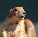 Prairie dog by imagetj