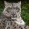 A Snow Leopard Portrait by Chris Lord
