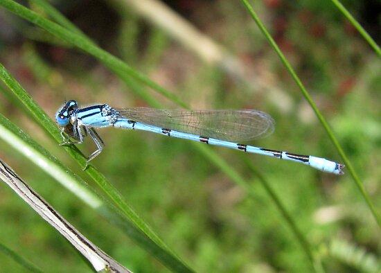 DameselFly ~ Familiar Bluet (Male) by Kimberly Chadwick
