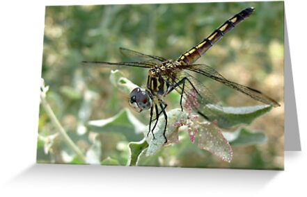 Dragonfly ~ Blue Dasher (Female) by Kimberly Chadwick