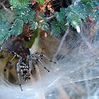 Funnel Web Spider by Kimberly P-Chadwick
