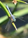 Dragonfly ~ Blue Dasher (Male) by Kimberly Chadwick