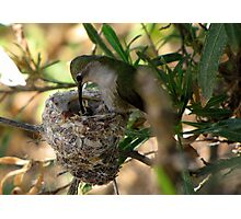 Costa's Hummingbirds  ~ 3 days old ~ 2nd series Photographic Print