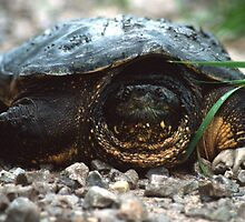 The Old Snapping Turtle by Bill Spengler