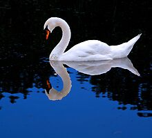 Le Cygne - The Swan  by John44