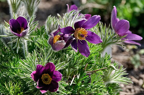 Pasque Flower - Pulsatilla vulgaris by Michael Cummings