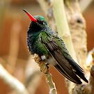 Broad-billed Hummingbird ~ Male by Kimberly Chadwick