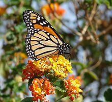 Monarch Butterfly by solena432