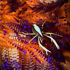 Squat lobster in fire urchin - Lembeh Straits by Stephen Colquitt